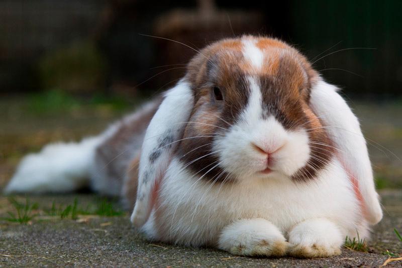 Midsomer Vets - Rabbit neutering
